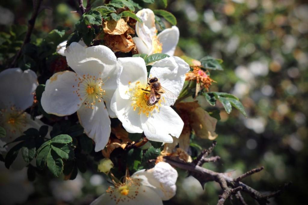pszczola na kwiatku
